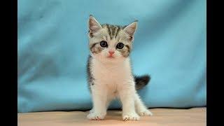スコティッシュフォールド NO.190612 ペットショップ『ヒラマツケンネル』の子猫
