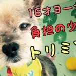 高齢犬のトリミングをご紹介【ヨークシャテリア】[兵庫ペット医療センター トリミング 尼崎 犬動画 ]Happy dog glooming