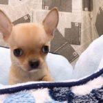ペットショップ犬の家 袋井店「104783」「チワワ(スムース)」
