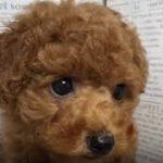 ペットショップ 犬の家 加古川店「トイプードル」「104774」