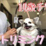 【チワワ高齢】トリミングに密着![兵庫ペット医療センター 尼崎本院]Happy dog glooming