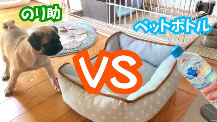 【パグの赤ちゃん】のり助VSペットボトル熱い戦い!_pugパグ#87