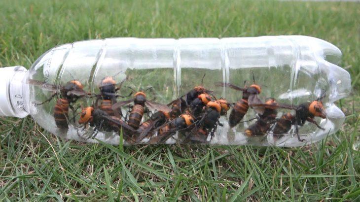 大量のオオスズメバチをペットボトルに捕獲